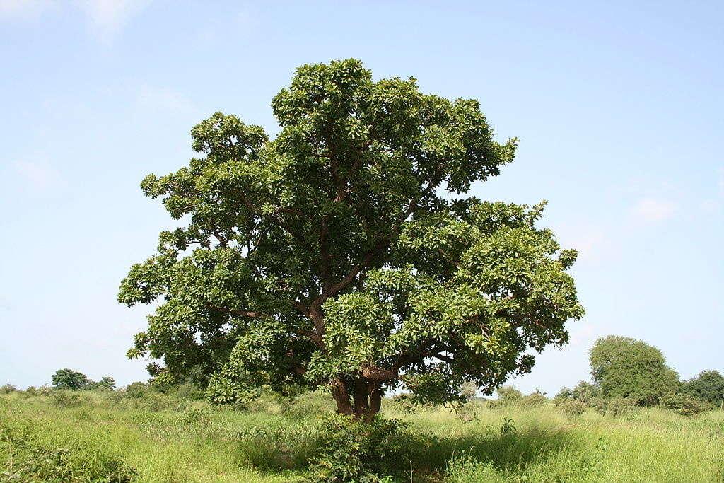 beurre de karité, arbre à karité, Mali, beurre de karité du Mali, savonnerie artisanale angevine, savonnerie artisanale à murs erigné